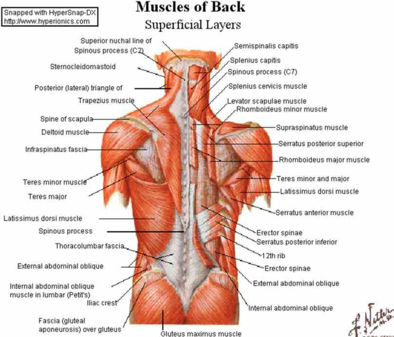 of pictures body lower back muscle muscles the diagram lower Lower Back Muscle Anatomy back muscle anatomy muscles of