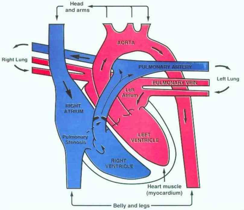of the and anatomy heart Heart Anatomy Blood Flow Diagram anatomy blood flow diagram blank human blank Heart Anatomy