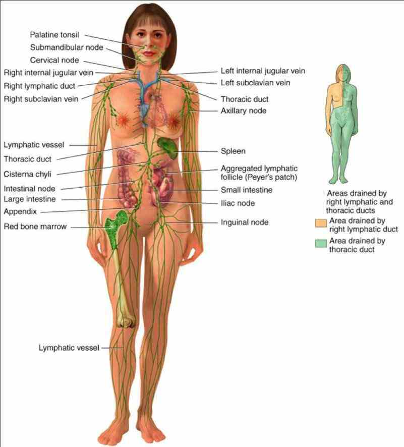 of the female lymphatic system human body description spleen is an organ which both produces and destroys cells it