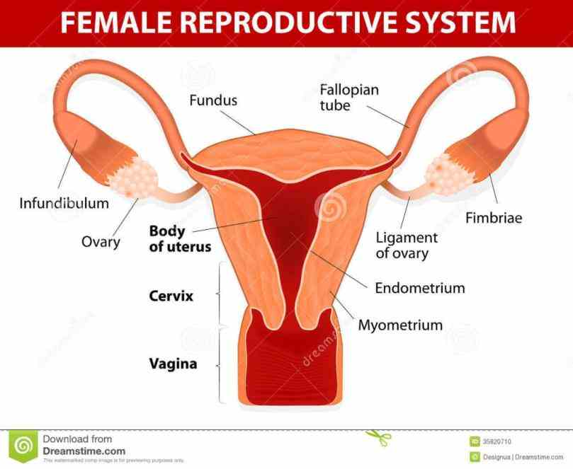 of the female reproductive system and how it anatomy includes parts inside outside body female Female Reproductive System Of