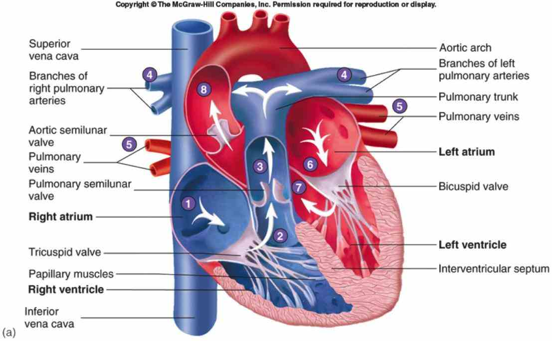 of the heart circulatory system conduction arteries and in diagram vessels that carry oxygenrich blood are colored red the