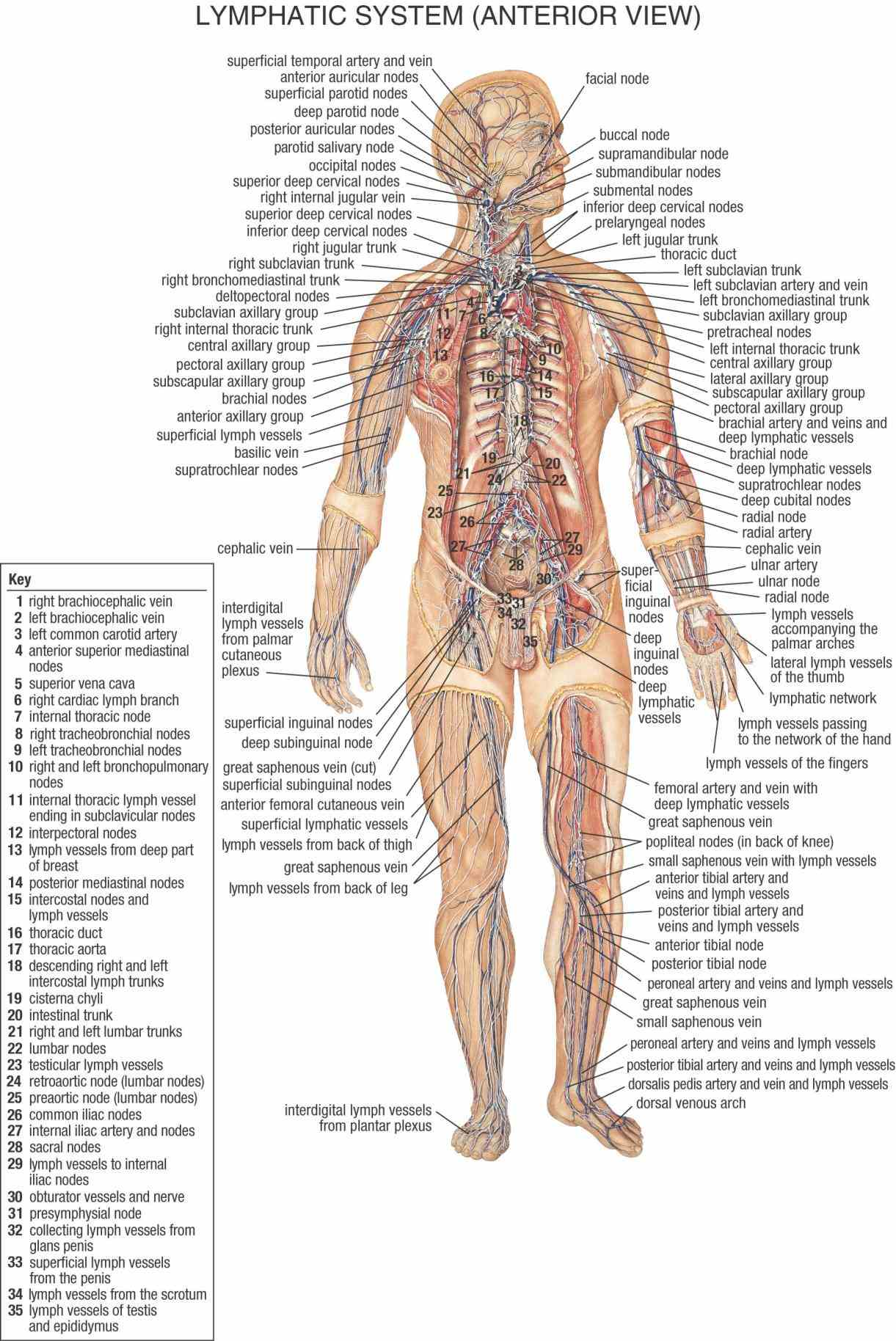 of the male and female including circulatory system digestive endocrine immune integumentary muscular  diagram Female Lymphatic System Anatomy Diagram
