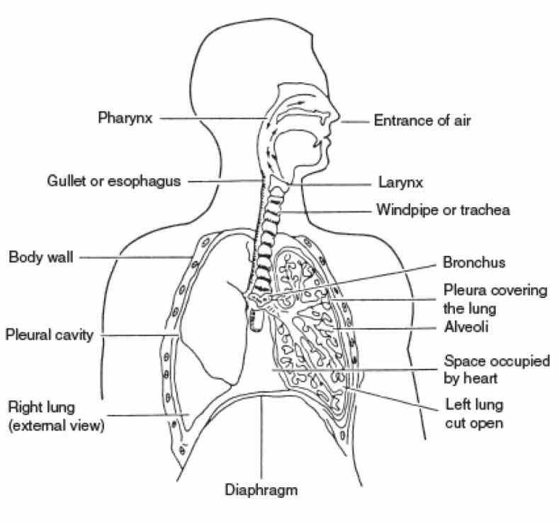 of the respiratory system and their function consists organs that help breathe respiration also known as  the Labeled Diagram