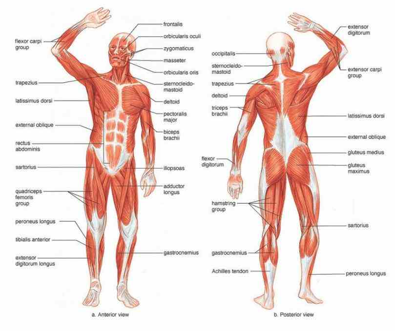 of the skeletal muscles human body cannot be seen from any one view this is partly because psoas major