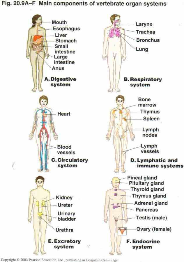 Pictures Of The Human Body Organ Systems Pictures Wallpapers