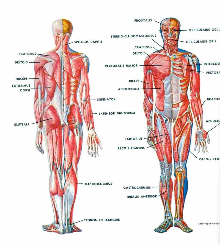 on how the organs and different body systems function there is muscles in human following list of all the