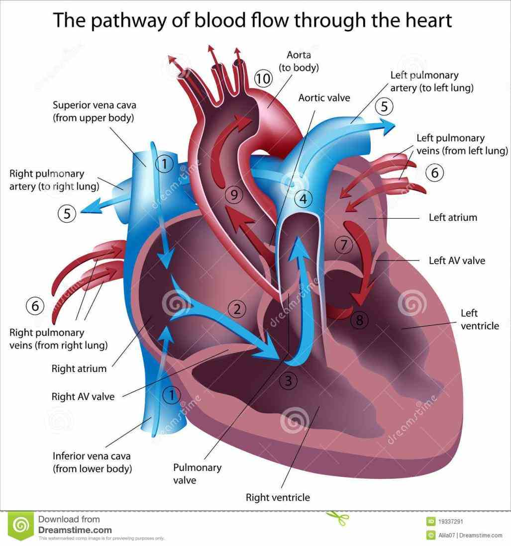 on shutterstock & find other images pathway Images Of Blood Flow Through The Heart of blood flow through the