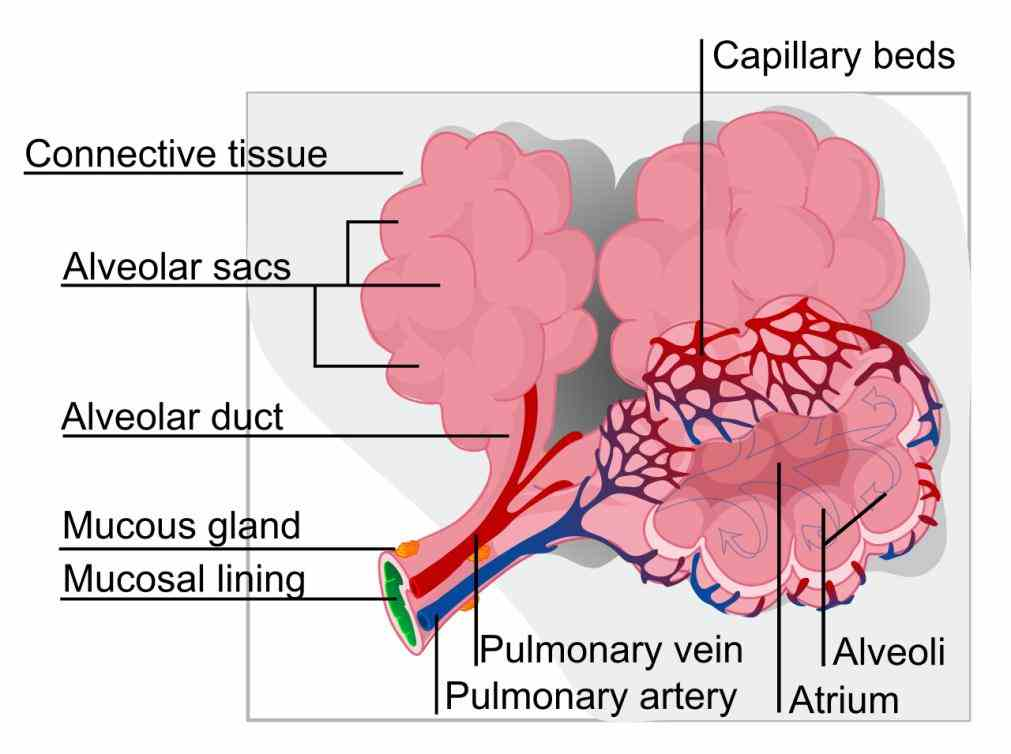 on your system de Epithelial Tissue In Respiratory System mar the respiratory system can be separated into a conducting