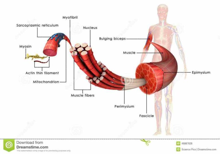 Anatomy of muscle tissue