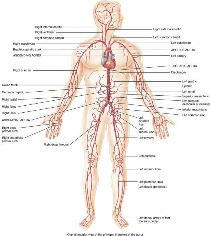 open textbook blood vessels include which are responsible for  all Anatomy Arteries And Veins the required arteries and veins