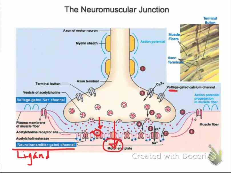 or myoneural is chemical synapse formed by the contact de Anatomy Of Neuromuscular Junction jan for neuromuscular transmission there