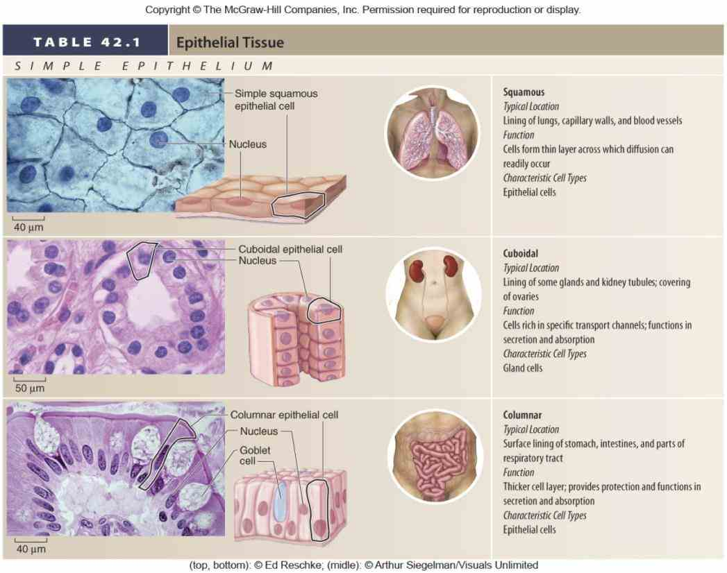 organs · v t e epithelial epi thele ium is one the four basic types animal tissue along with