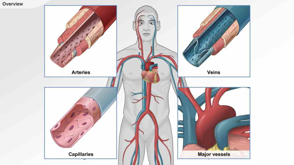 organs and vessels that responsible for flow blood nutrients hormones oxygen other the Cardiovascular System cardiovascular system is part