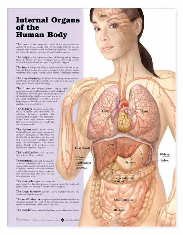 organs of body that contain  innerbodycom Female Human Body Structure Anatomy is a free virtual human anatomy website with
