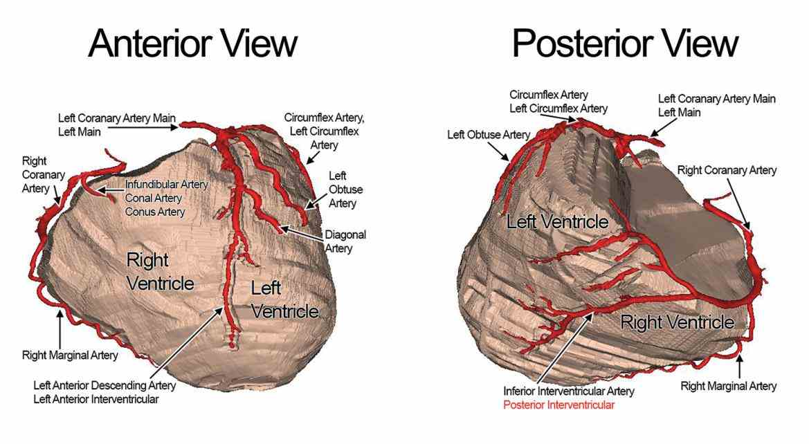 originate as right left main coronary the Arteries Of The Heart Anatomy heart receives its own supply of blood