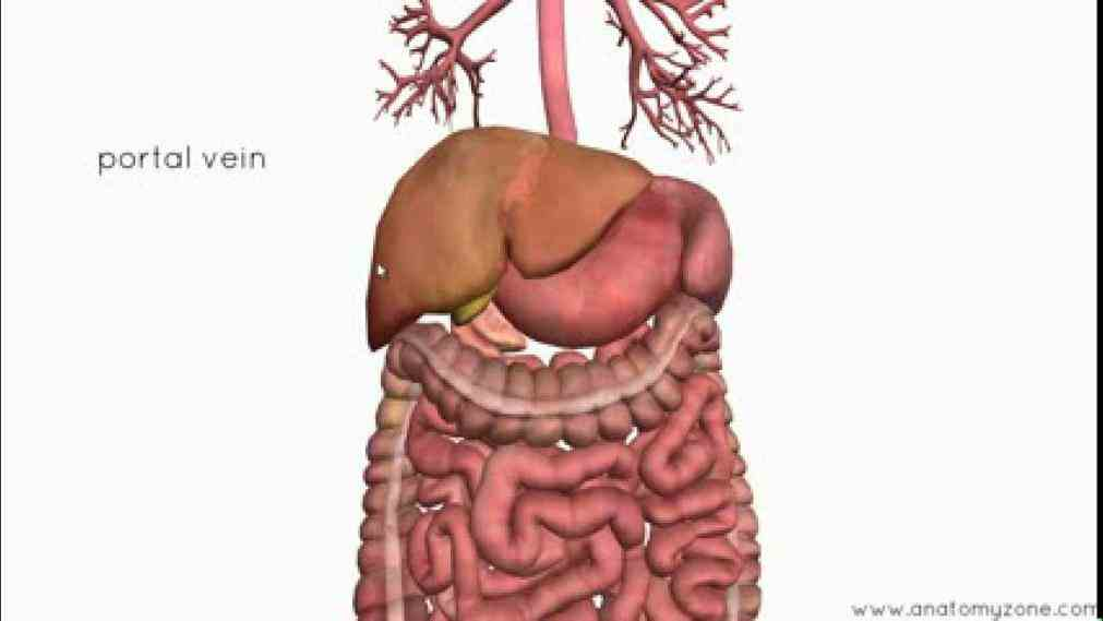 our food webmd explains the digestive system from top to bottom de Major Organ Of The Digestive System ago