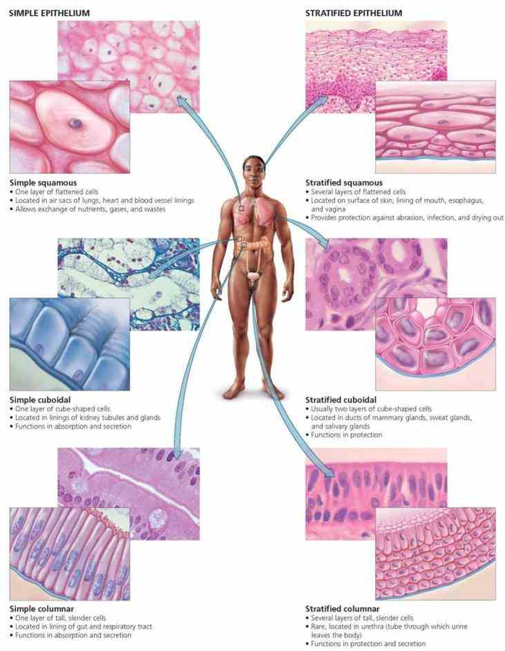 outside  the Epithelial Tissue Location In The Body human body consists of four types tissue epithelial connective cells and