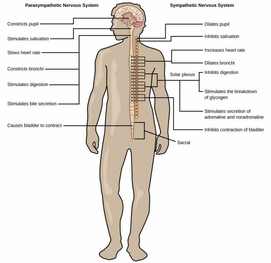 Major Organ Of The Nervous System Pictures Wallpapers