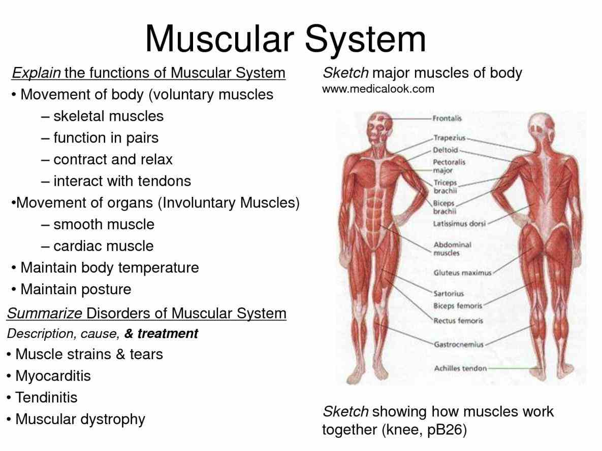 parts of the muscular system muscles body are divided into three main types skeletal smooth and cardiac as their