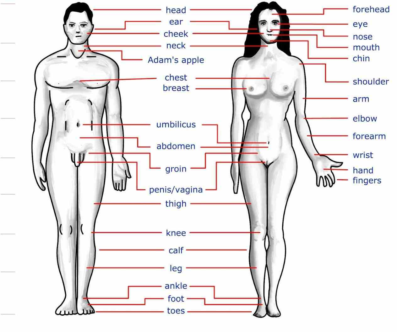 parts yet look different the External Parts Of The Human Body external organs human anatomy genital fig they consist