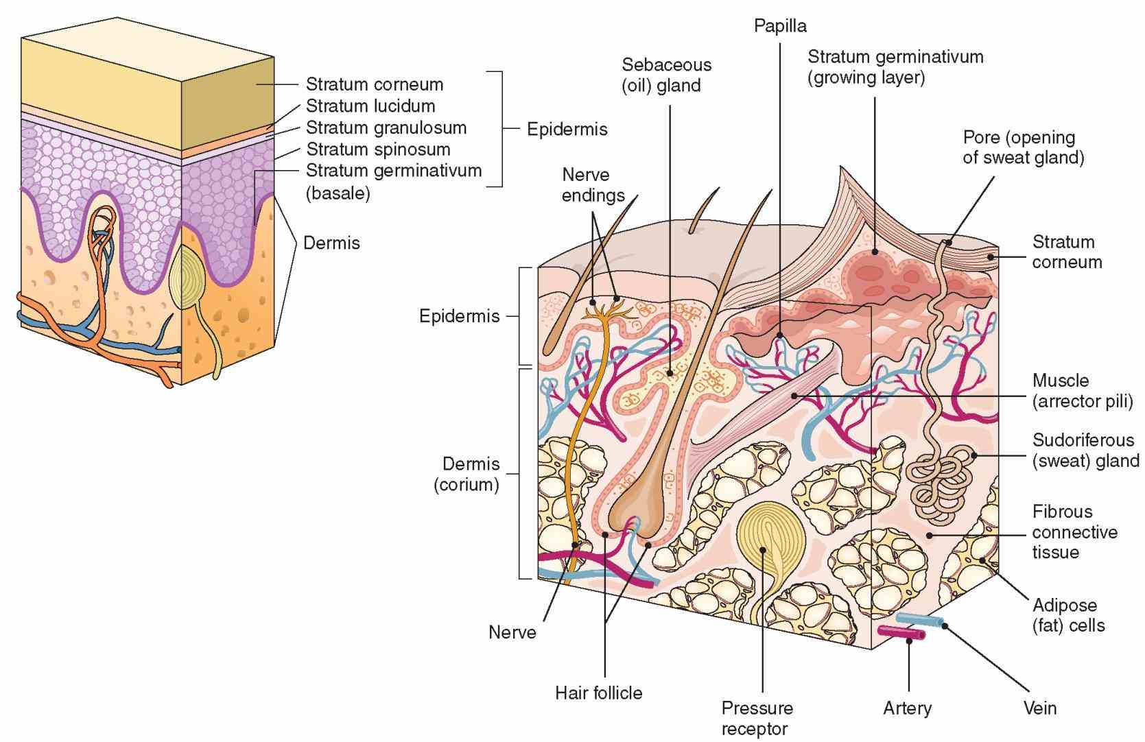 passes impulses to the central nervous system the Picture Of The Integumentary System layout design for these subpages is