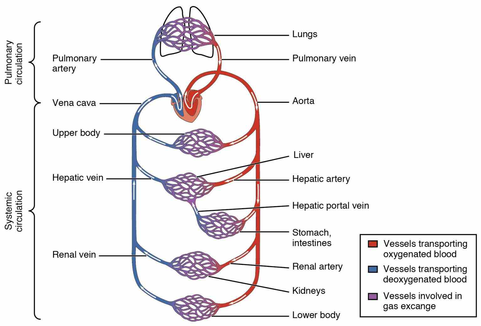 passes major arteries and gets  this Heart Diagram With Labels And Blood Flow diagram shows how blood flows through