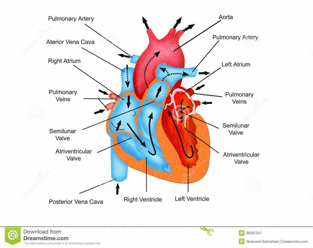 pathway Images Of Blood Flow Through The Heart of blood flow through the heart buy this stock illustration