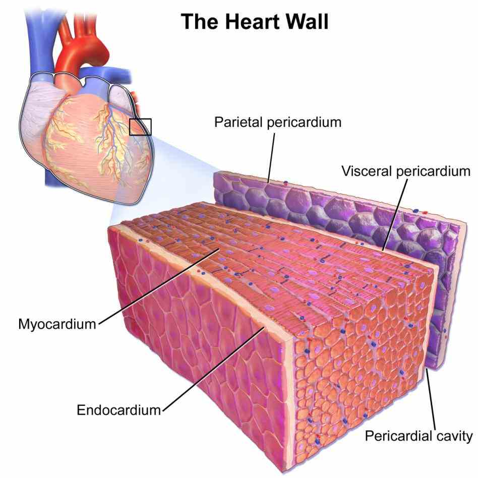 pericardium the Double Layered Membrane On The Outside Of The Heart doublelayered membrane that covers outside of heart is