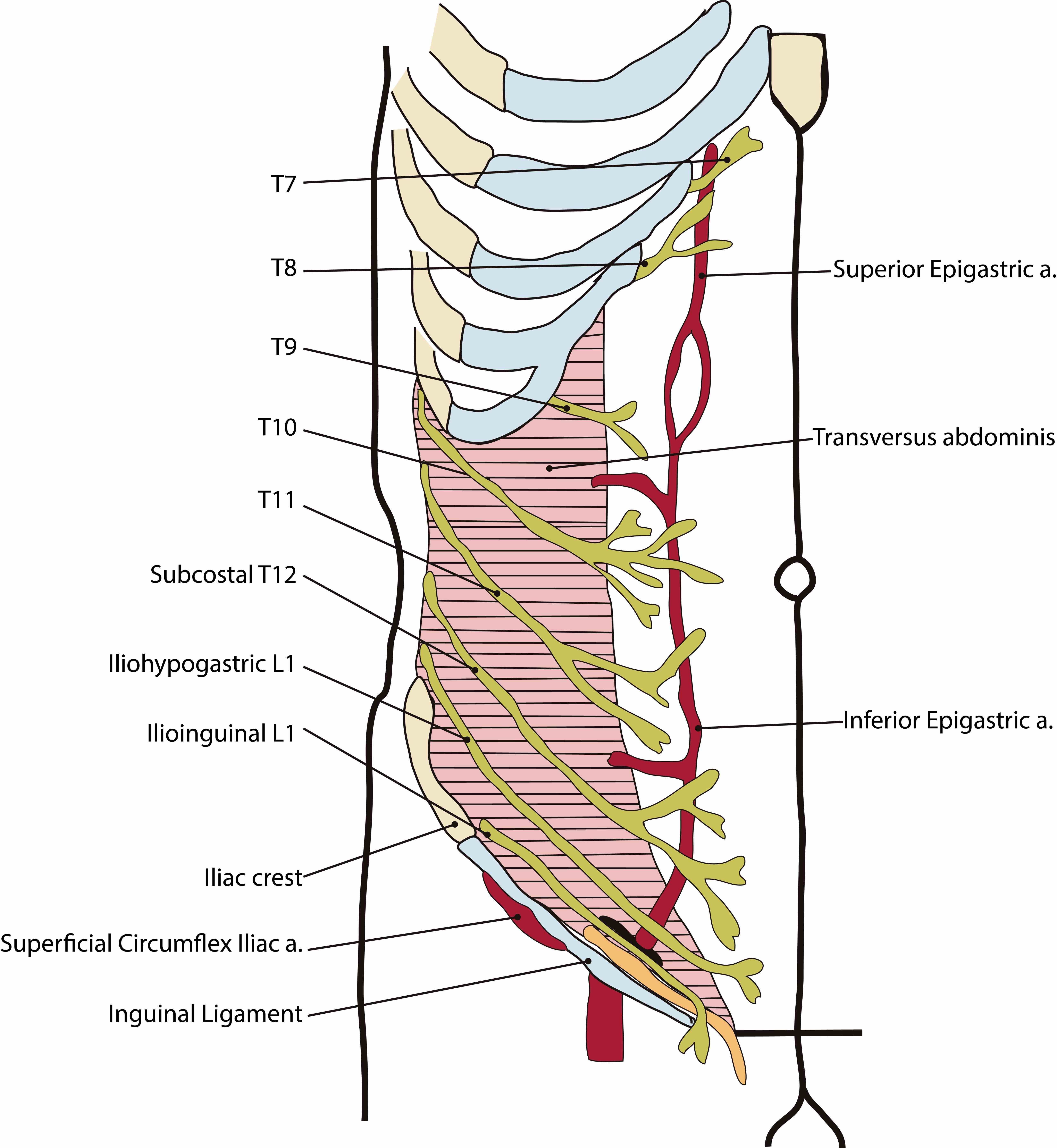permits efficient and safe entry into peritoneal cavity there are nine layers to the  de Abdominal Fascial Layers Anatomy