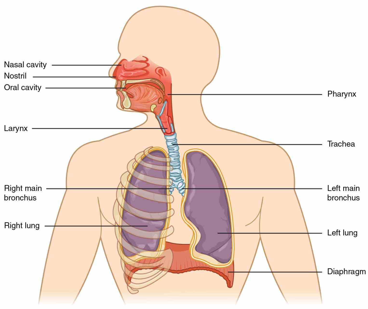pharynx; esophagus; stomach; small intestine; large rectum; accessory organs  de Major Organ Of The Digestive System mai major organs