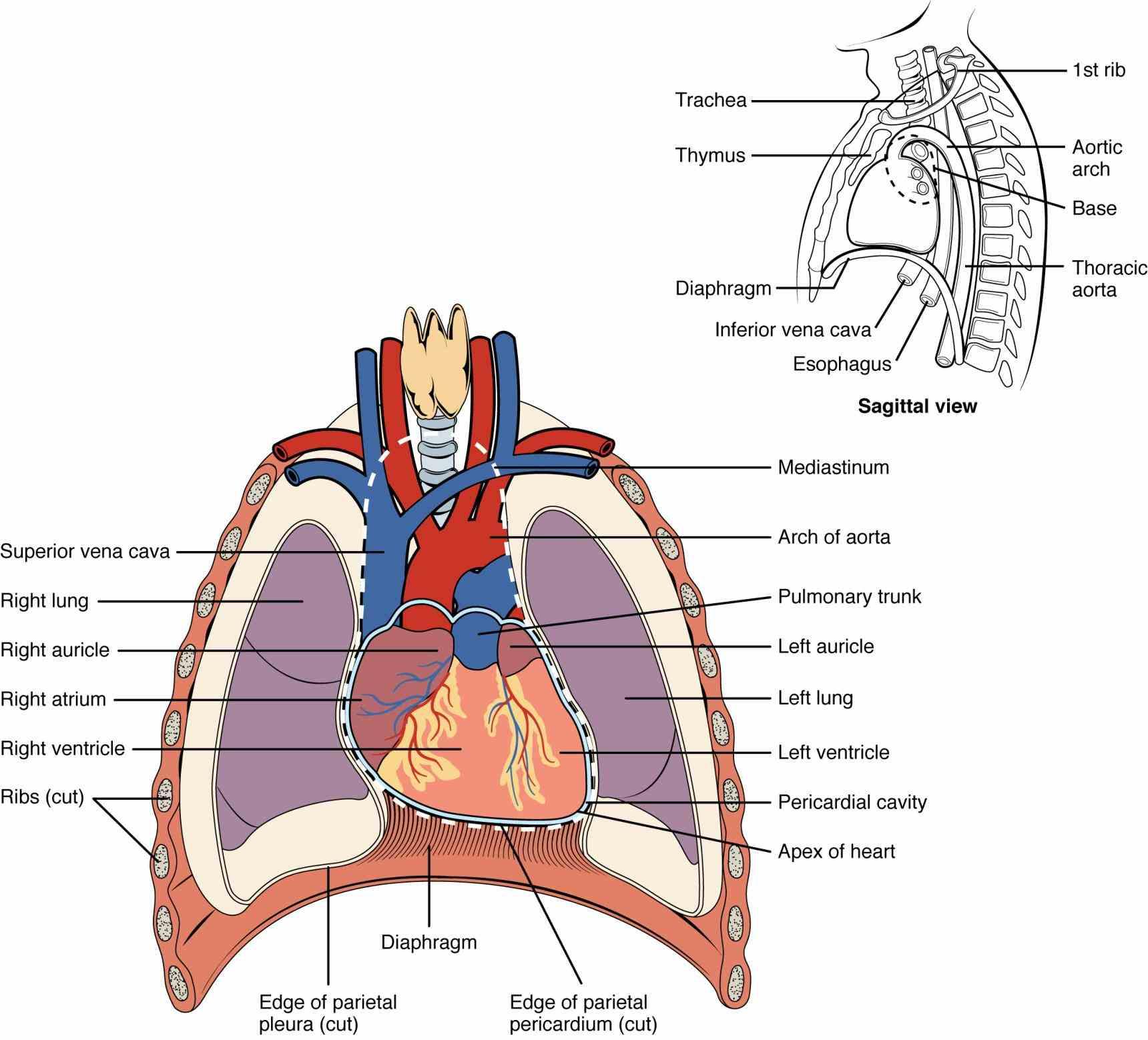 photo layered de Double Layered Membrane Around The Heart mar title double layered membrane around heart anatomy – openstax