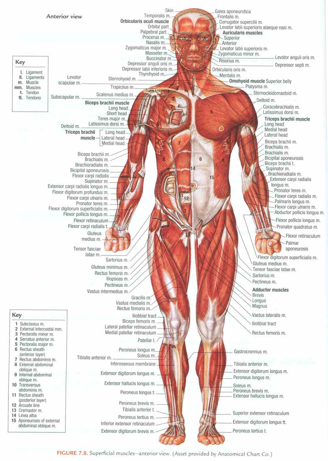 physiology photo chest  start Anterior Body Region Containing The Chest studying directional terms & body region anterior posterior learn