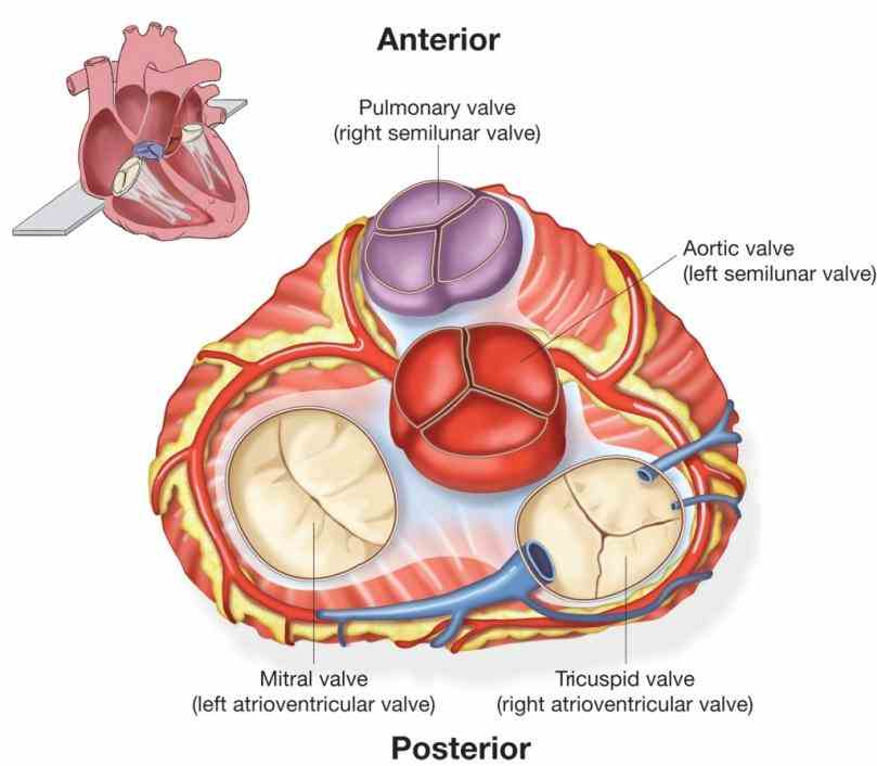 plays in watch an animation of anatomy de Heart Valves Anatomy Pictures out the heart pumps blood from left