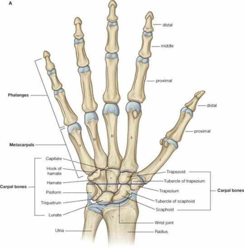plus two long in forearm — the radius and ulna most commonly injured carpal ir Carpal Bones para carpal