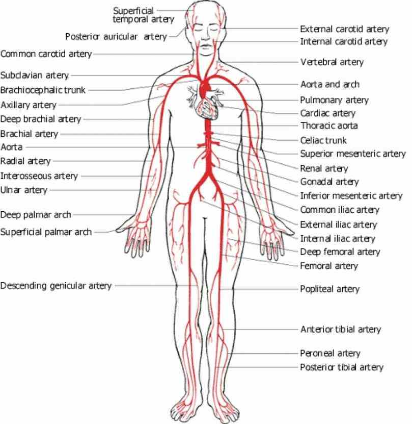 prev · next the arteries are blood vessels that deliver oxygenrich from heart to tissues of body patient All
