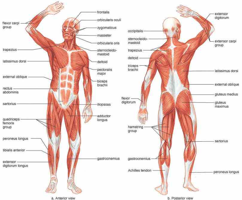 print and then photocopy multiple times! de Labelled Muscular System Diagram abr title labelled muscular system diagram human torso