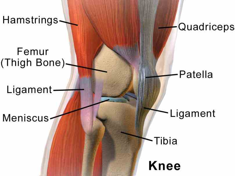 problems  overview Anatomy Of Knee Ligaments of knee ligament function primary secondary anatomy origin medial femoral condyle insertion tibial