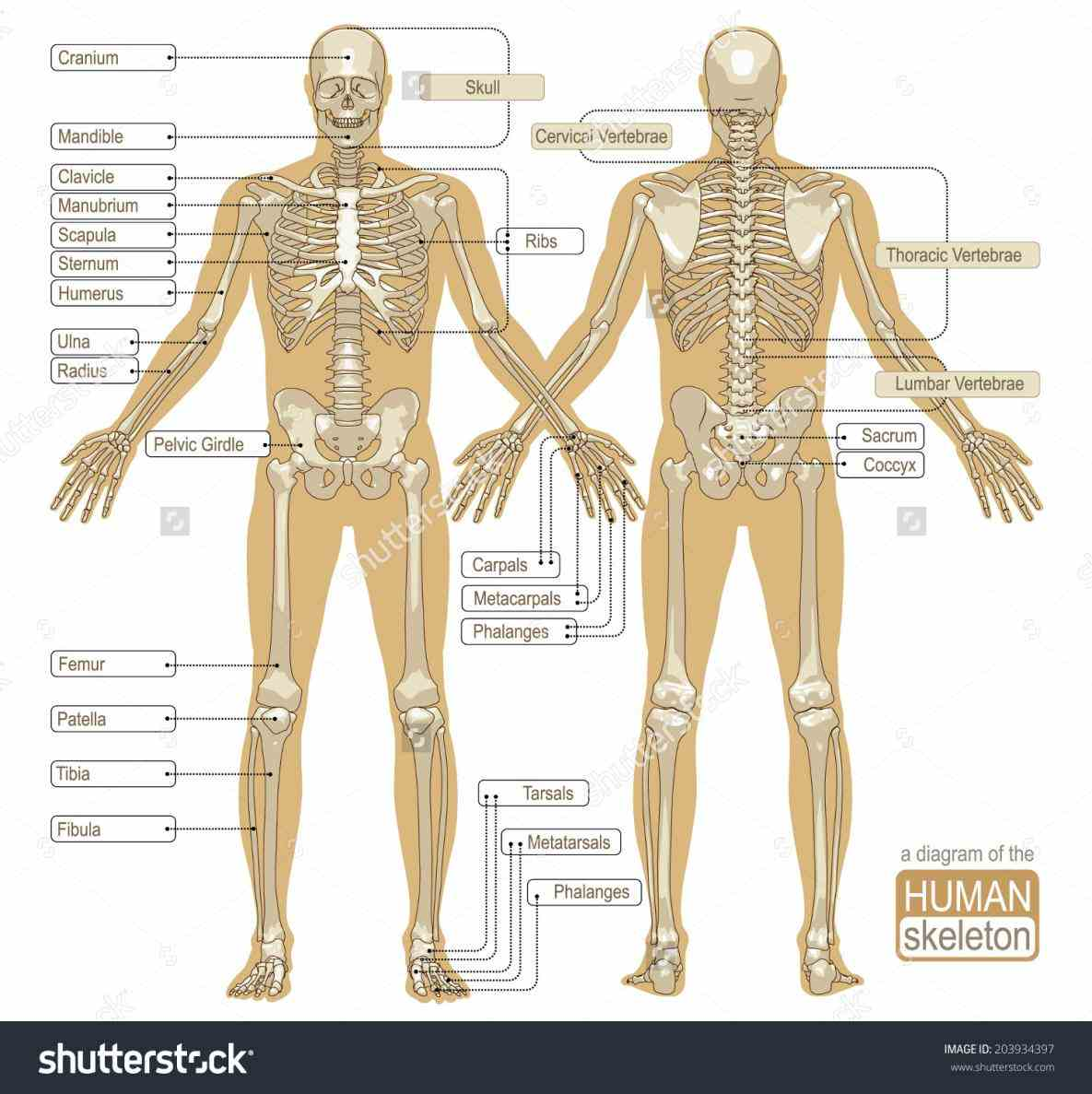 protects brain; vertebrae spinal the Parts Of The Human Skeletal System functions of skeleton are to provide support give