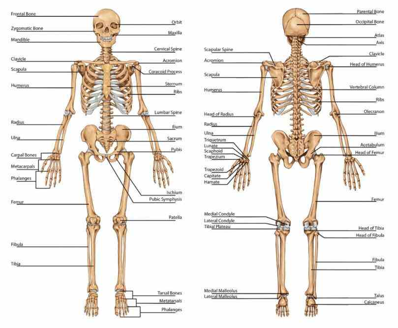 provide attachments for muscles  structure Anatomy Of The Bones In The Body and functions of bones the skeleton include