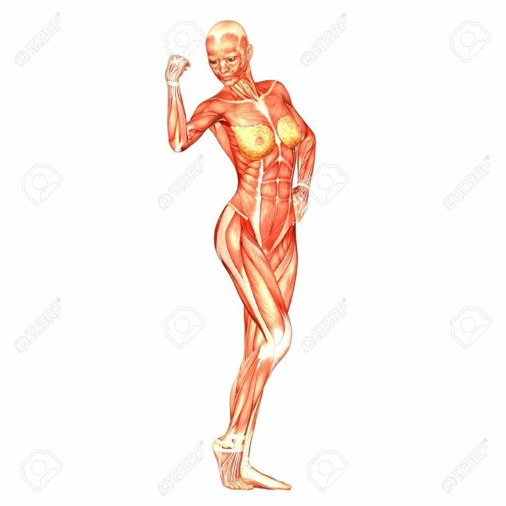provides a detailed image and definition of the commonly called belly is body space human Female Human Body Anatomy