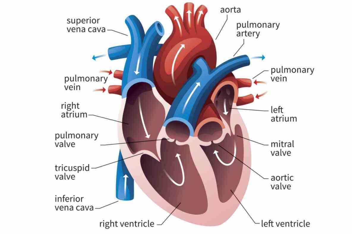 pulmonary veins they lungs to do All Arteries Carry Oxygenated Blood Except all arteries carry oxygenated blood explain not
