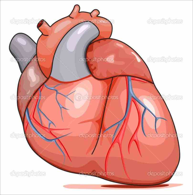 quality art & more de Image Of Heart In Human Body mar webmds heart anatomy page provides a detailed