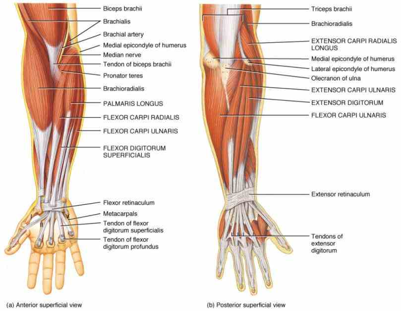 radius and carpus; anatomical region  rather Anatomy Of The Wrist Joint than a single joint the wrist is actually
