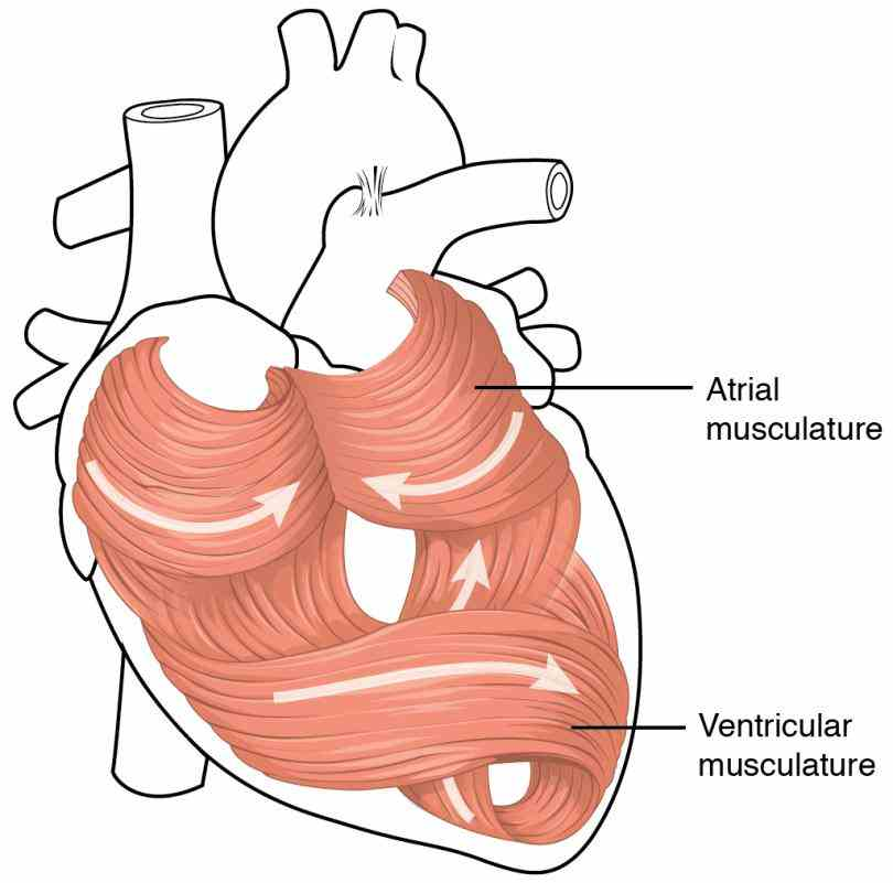 receive nervous stimulation from sinoatrial the Muscles Of The Heart Are Called heart is a large muscular organ that