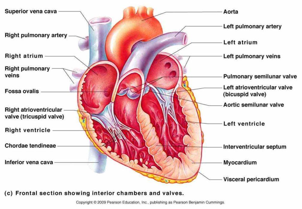 ap 2 cardiovascular system