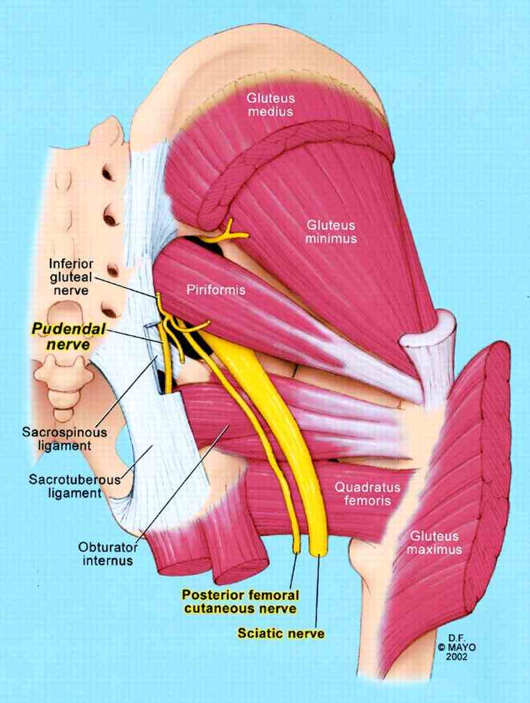 region is an anatomical area located posteriorly to pelvic girdle at proximal end of femur in buttocks de Anatomy
