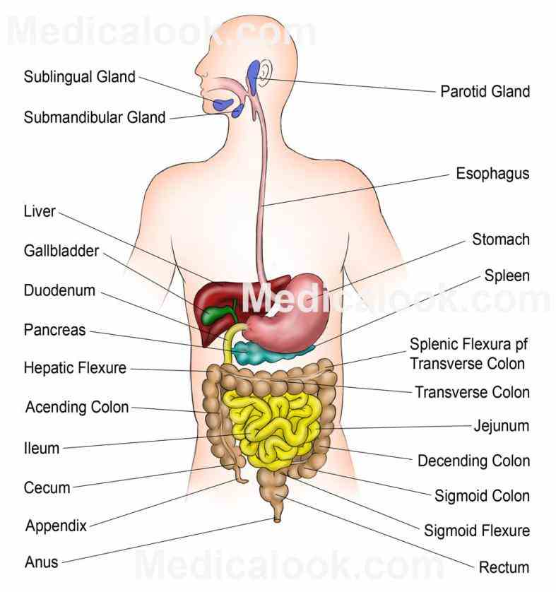 related Images Digestive System Human Body Anatomy digestive system human organs body stomach digital illustration of bacteria heart