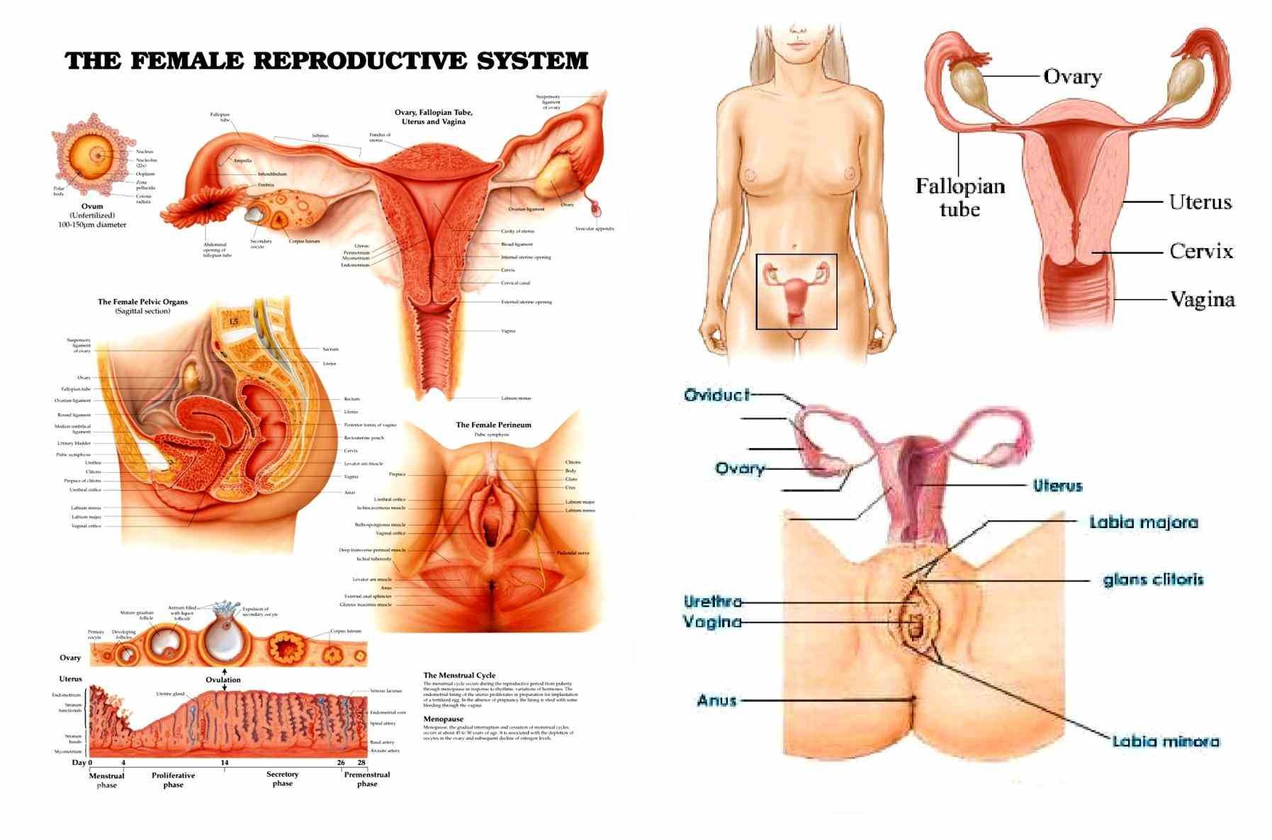 reproductive system in boundless open textbook human contains two main parts the Anatomy Of The Female Reproductive System female