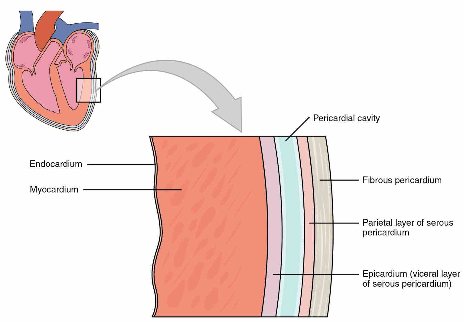 rests just superior to myocardium is muscular middle layer wall that contains the heart Muscles Of The Heart Are