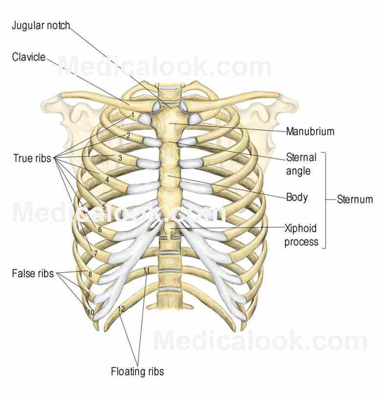 Anatomy Of The Ribs And Sternum Pictures Wallpapers